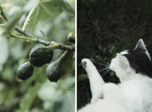 After the rain-fig-cat copyright Maria Fynsk Norup